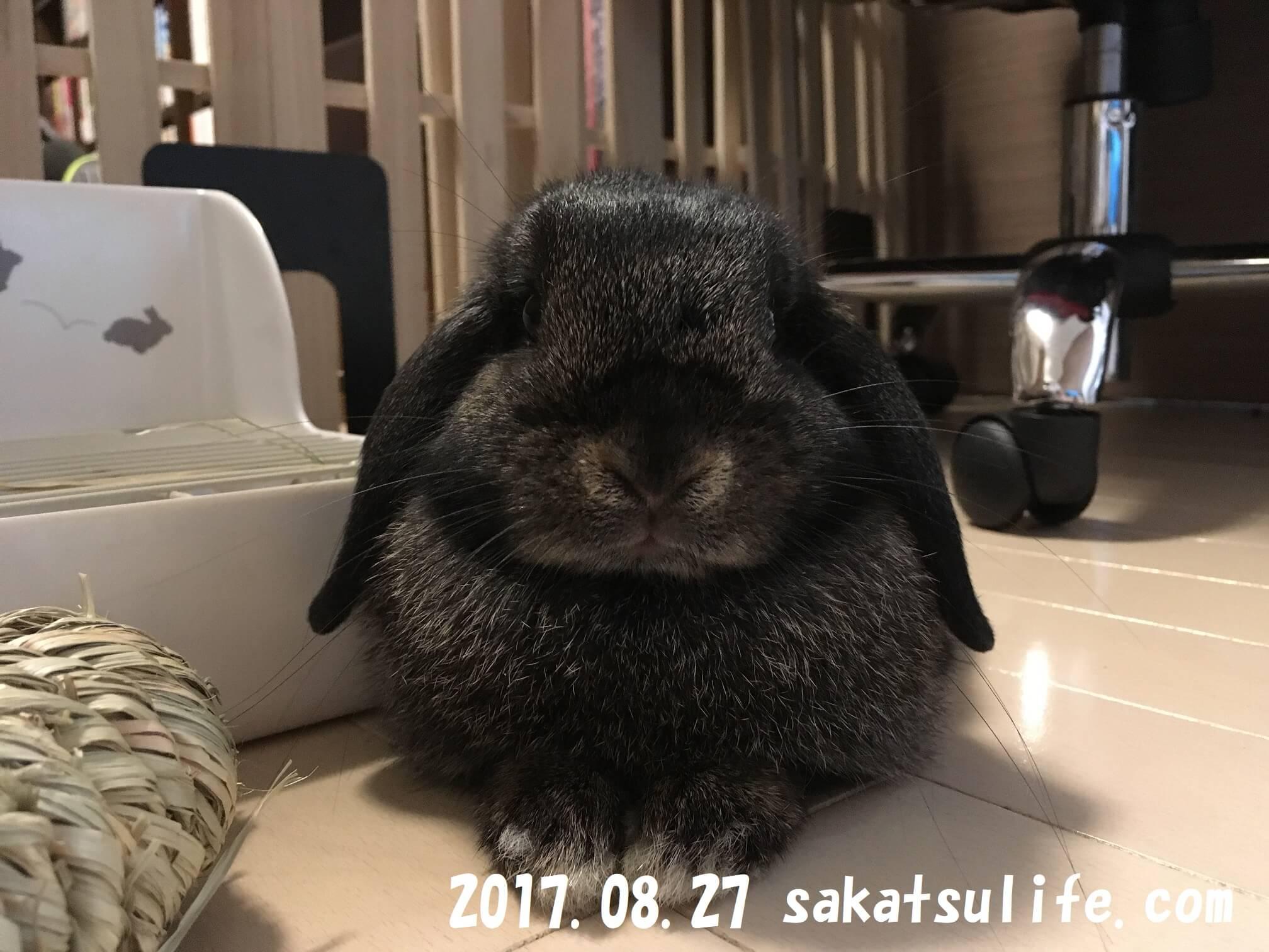 ホーランドロップのうさぎ静子20170827