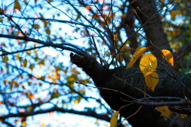 今にも散りそうな枯葉